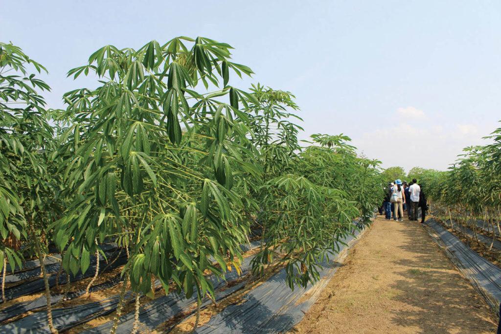 (ភាសាខ្មែរ) Cassava Farm គម្រោងរបស់ JICA ទៅលើដំណាំដំឡូងមី ក្នុងរយៈ២ឆ្នាំចុងក្រោយ