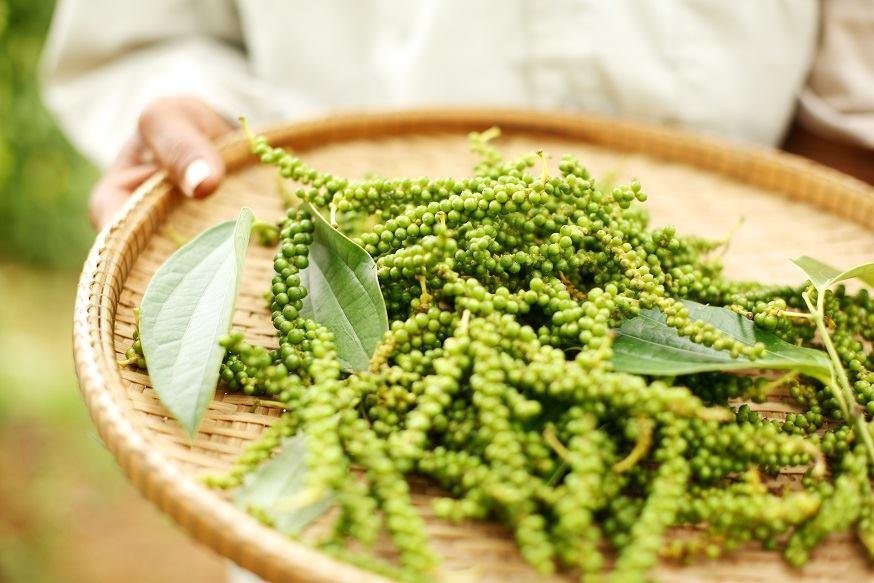 (日本語) 『9月催行予定!クラタペッパー胡椒の植樹ツアー参加者募集中』~五感で体感する!世界一と称されるカンボジアの胡椒の世界~