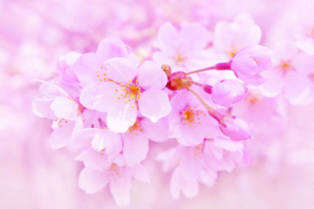(ភាសាខ្មែរ) រដូវផ្កា SAKURA រីក (Sakura Zensen) 【Special1】